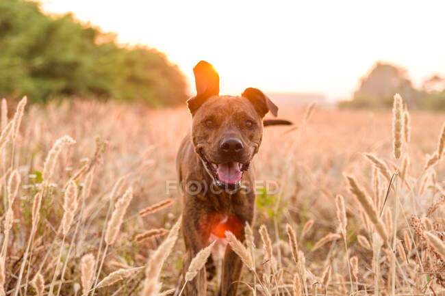 Big dog with short and smooth coat running free on wild meadow with tall grass during beautiful red and orange sunset — Stock Photo