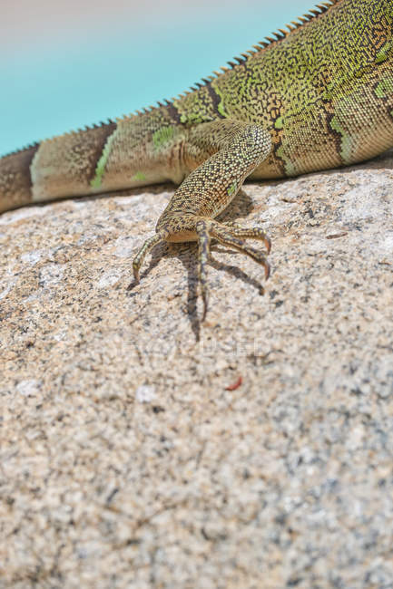 Crop Closeup green iguana lying on rocky ground and water in nature — Stock Photo