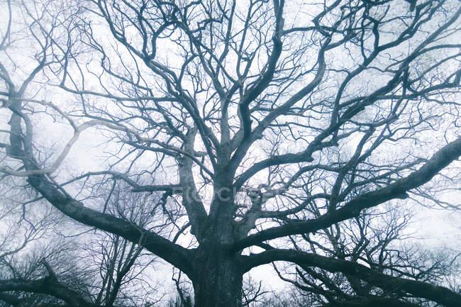 Enorme árvore antiga coberta por musgo no fundo do céu nublado — Fotografia de Stock