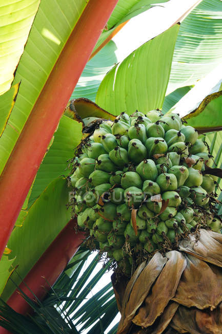 Bunch of green fruits growing on exotic tree on sunny spring day in garden — Stock Photo