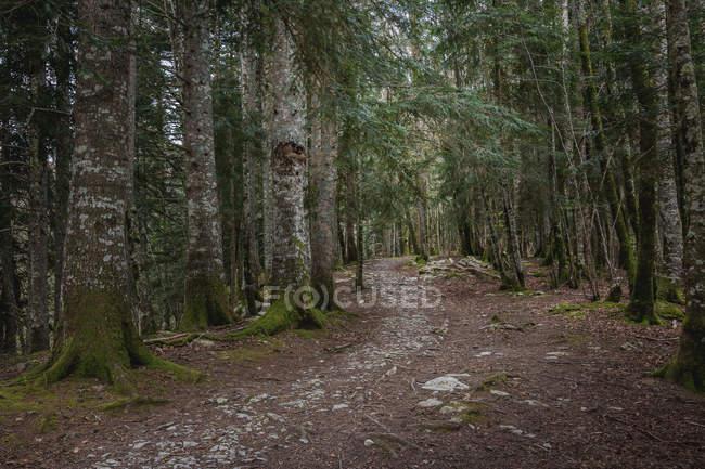 Узкая каменистая тропа, проходящая через хвойный лес с деревьями — стоковое фото
