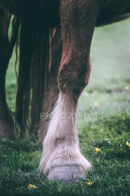 Crop Bein und Pferdehuf mit kastanienfarbenem Fell stehen auf verschwommenem Hintergrund der Natur — Stockfoto