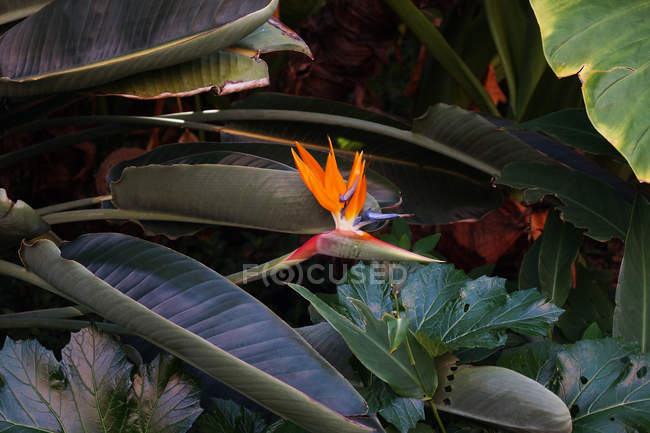Flowerbed with bird of paradise flowers in nature — Stock Photo