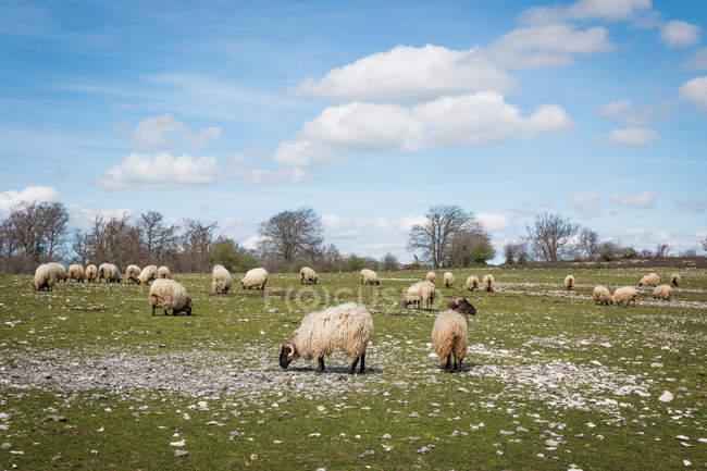 Serratura di ovini soffici di montagna al pascolo e mangiare erba nel prato verde — Foto stock