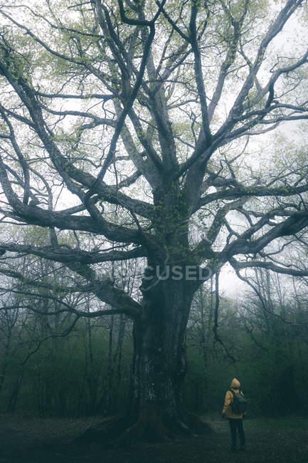 Vista trasera del turista admirando el gran árbol antiguo cubierto por musgo en el fondo del cielo nublado. - foto de stock