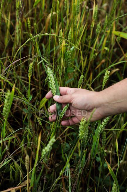Junge grüne Ähren wachsen in Gartenparzelle — Stockfoto