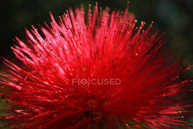 Closeup of exotic flower with vivid red spikes growing in tropical park — Stock Photo
