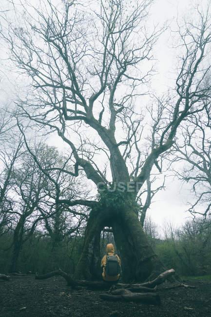 Visão traseira do turista admirando enorme árvore antiga coberta por musgo no fundo do céu nublado — Fotografia de Stock