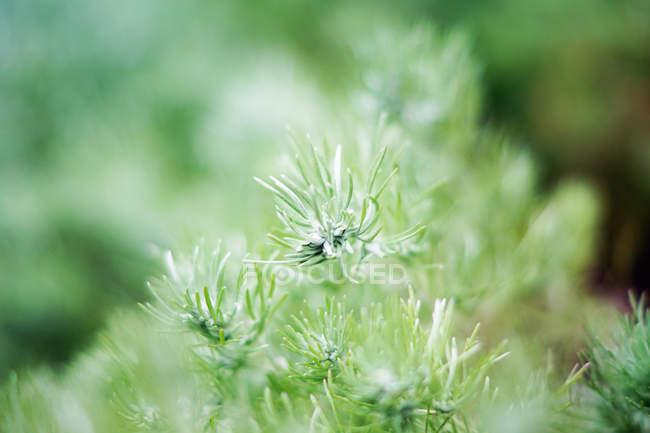 Planta Spruce verde que cresce no parque — Fotografia de Stock