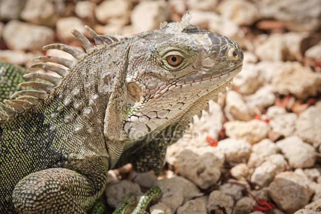 Closeup green iguana lying on rough stony ground on blurred background of nature — Stock Photo