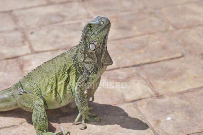 Closeup green iguana lying on rocky ground and — Stock Photo