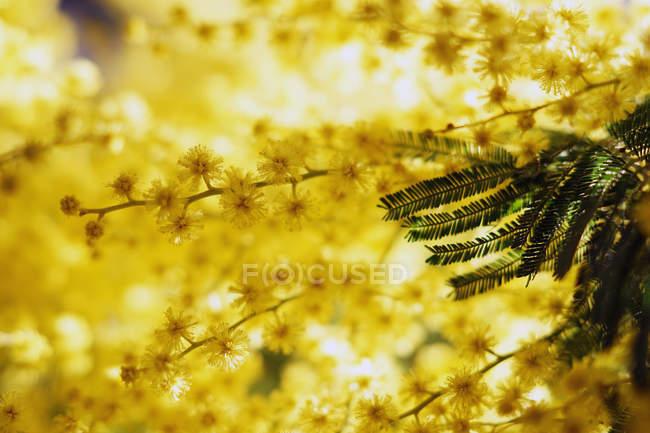 Крупним планом золотих гілок золота в сонячний день — стокове фото