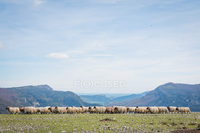 Стая горной пушистой овцы грызет траву в зеленом лугу — стоковое фото