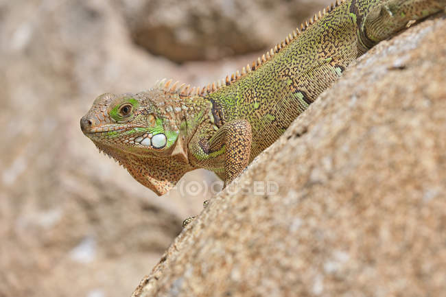 Closeup green iguana lying on rocky ground and water in nature — Stock Photo
