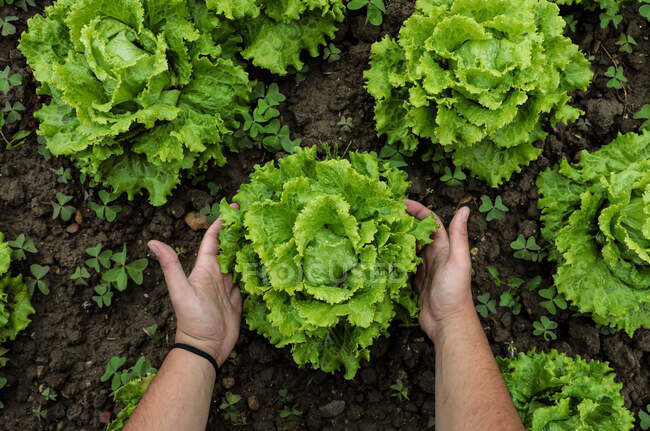 Lettuce green leaves on loose brown bed — Stock Photo