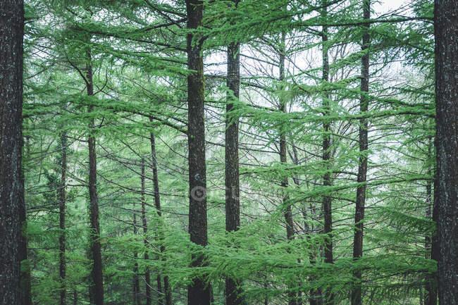 Giovani alberi di conifere verdi in parco sullo sfondo del cielo nuvoloso — Foto stock