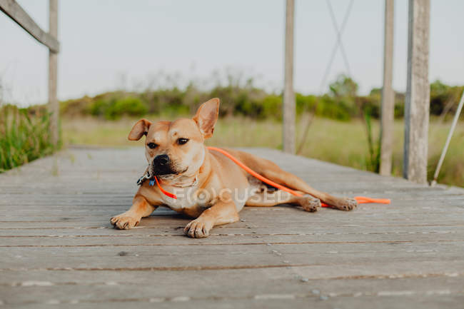 Funny brown dog with leash relaxing on wooden rural terrace in daylight — Stock Photo