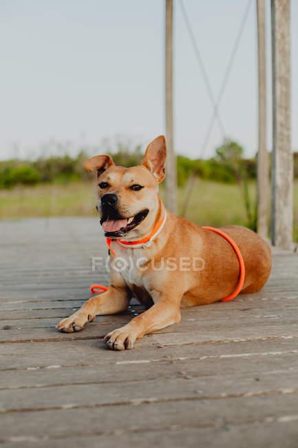 Расслабленный коричневый пес лежит на деревянной террасе в природе — стоковое фото