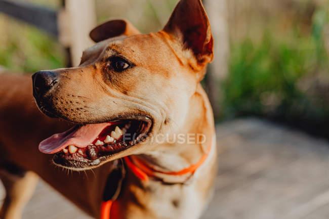 Entspannter brauner Hund steht auf Holzterrasse — Stockfoto