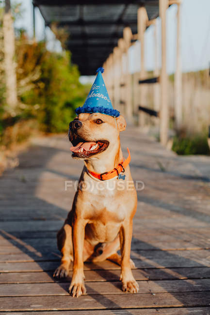 Brown dog in birthday hat with tongue out sitting on wooden terrace at rural countryside in daylight — Stock Photo
