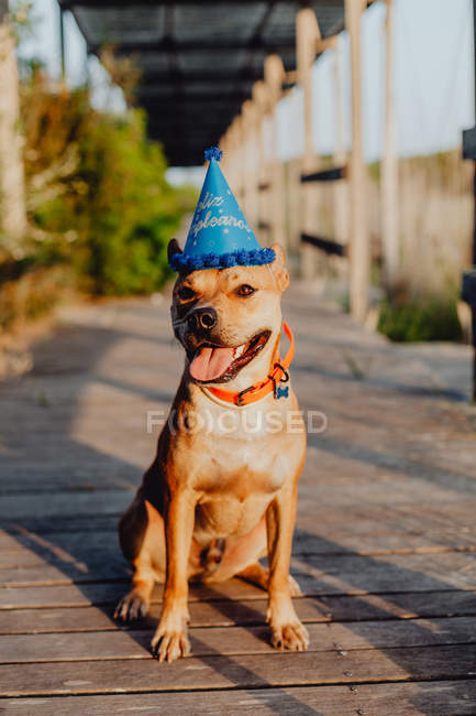 Brown dog in birthday hat with tongue out sitting on wooden terrace at rural countryside in daylight — Stockfoto