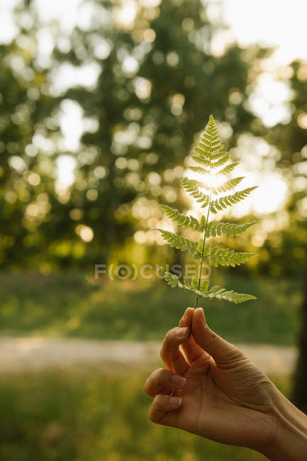 Cropped image of woman holding beamed green leaf of forest fern in sunset on green background — Stock Photo
