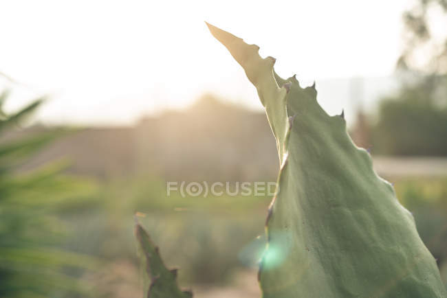 Growing green agave on farm in sunlight — Stock Photo