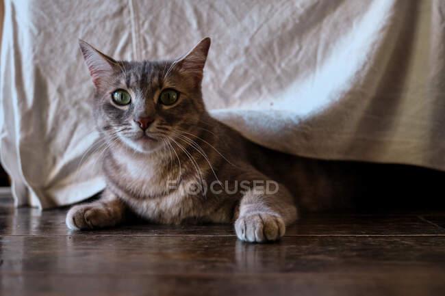 Carino gatto grigio con strisce di sgombro nella caccia e giocare umore con il corpo basso a pavimento in legno sotto mobili a casa — Foto stock