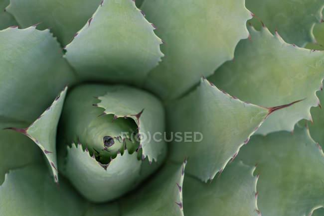 Сверху зеленые листья агавы с шипами при дневном свете — стоковое фото