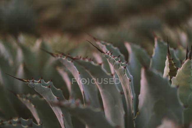 Крупный план растущих ярких листьев агавы с шипами при дневном свете — стоковое фото