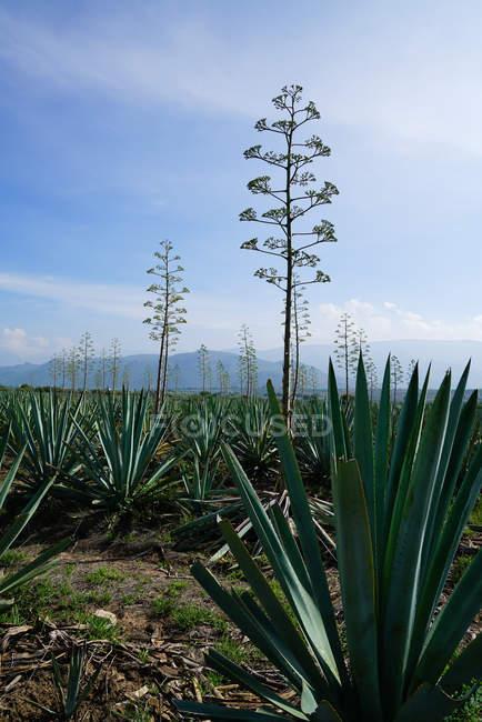 Grupo da agave verde crescente com as flores altas na luz do dia — Fotografia de Stock