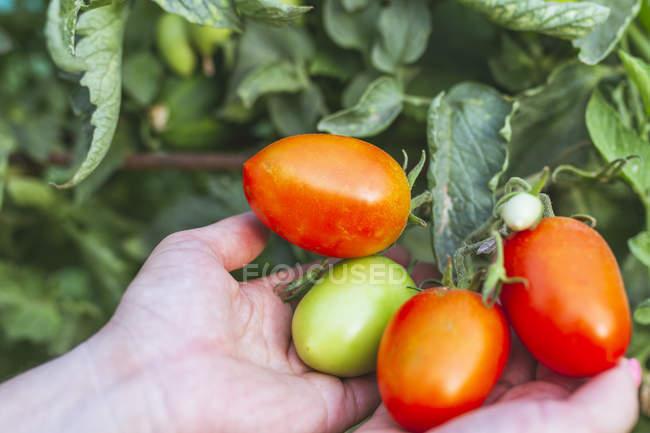 Pomodori rossi brillanti su mazzo verde in mano — Foto stock