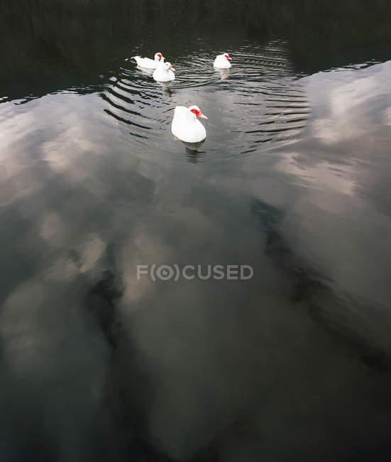 Белые мускусные утки, плавающие на мирной поверхности озера в осеннем парке — стоковое фото