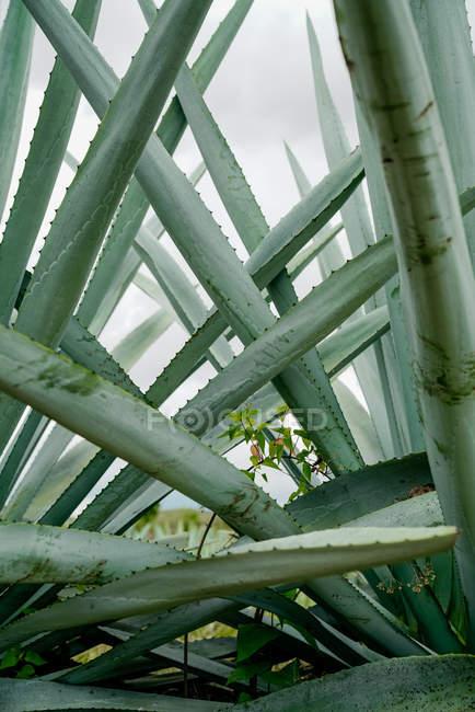 Crescente agave verde chiodato foglie alla luce del giorno — Foto stock