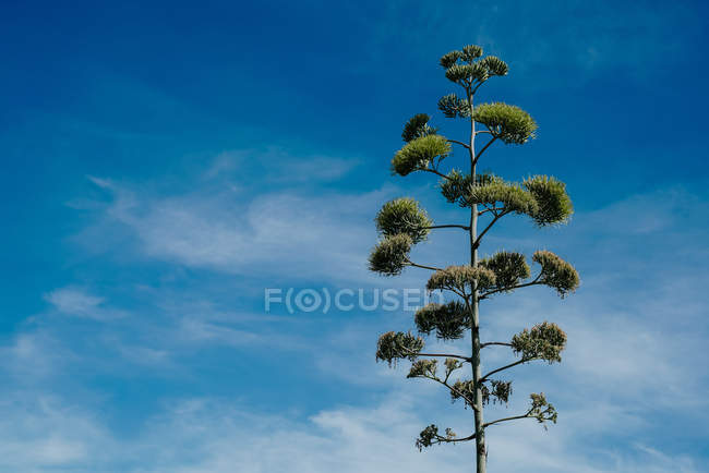 Tall green stern of agave plant over blue cloudy sky — Stockfoto