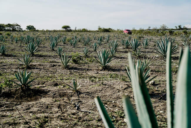 Green agave field in dried rural field in daylight — Stock Photo