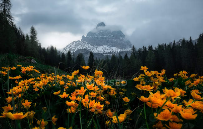 Bright flowers on lush meadow surrounded by dense dark forest and snowy mountains in cloudy mist in Dolomites, Italy — Stock Photo