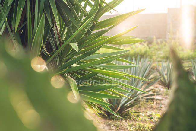 Wachsende grüne Agavenpflanzen auf dem Bauernhof im Sonnenlicht — Stockfoto