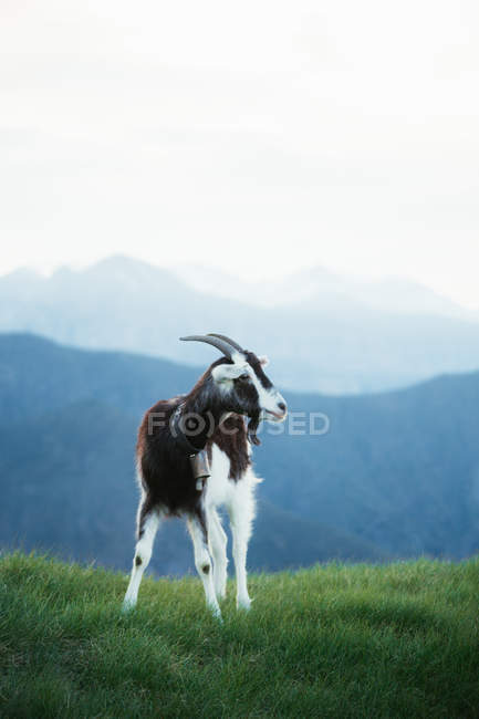 Goat grazing on meadow in Pyrenees mountains — Stockfoto