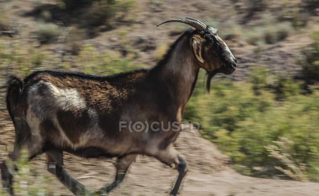Seitenansicht der schwarzen und braunen Ziege, die in Bewegung läuft, verschwimmen auf einem verlassenen Feld — Stockfoto