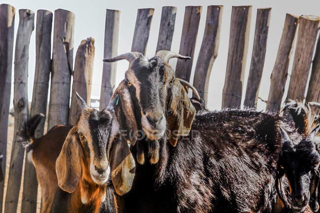 Mandria di capre avvistate che si radunano in fattoria nel paddock del ranch in estate — Foto stock
