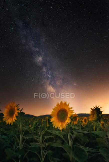 Ripening sunflower field under shining stars on sky at night — Stock Photo