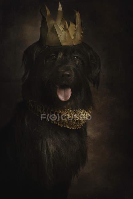 Портрет черного гигантского шнауцера с высунутым в золотую корону языком и ржавчиной, смотрящего в камеру — стоковое фото