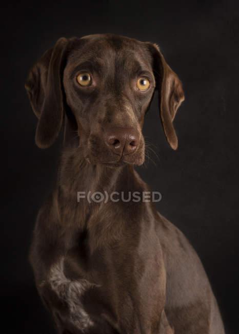 Ritratto di Weimaraner marrone con occhi gialli seduto su sfondo nero e distogliendo lo sguardo — Foto stock