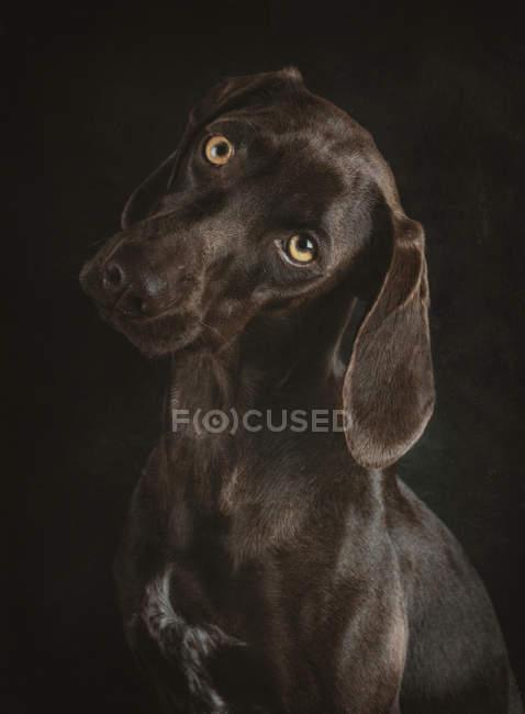 Portrait of brown Weimaraner with yellow eyes in studio on black background — Stock Photo