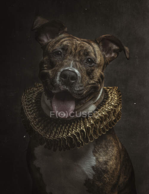 Portrait of Pit Bull with patterned fur in golden ruff looking in camera — Stockfoto