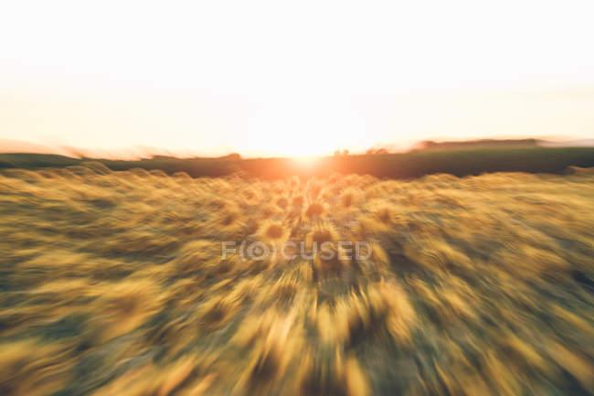 Яркое золотое солнце садится над подсолнечным полем в размытости движения — стоковое фото