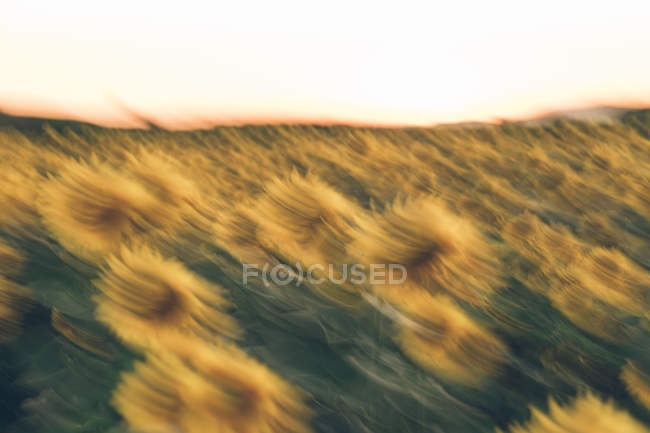 Bright golden sun setting down above sunflower field in blur of motion — Stock Photo