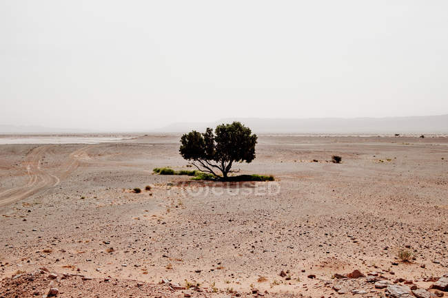 Small green tree growing in middle of dry sandy desert against gray sky in Morocco — Stock Photo