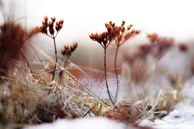 Soft focus of thin vivid plants on field covered with snow in cold day — Stock Photo